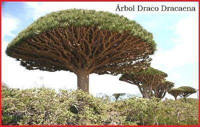 como es planta sangre de drago