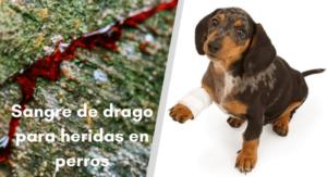 sanar heridas en perros con sangre de drago